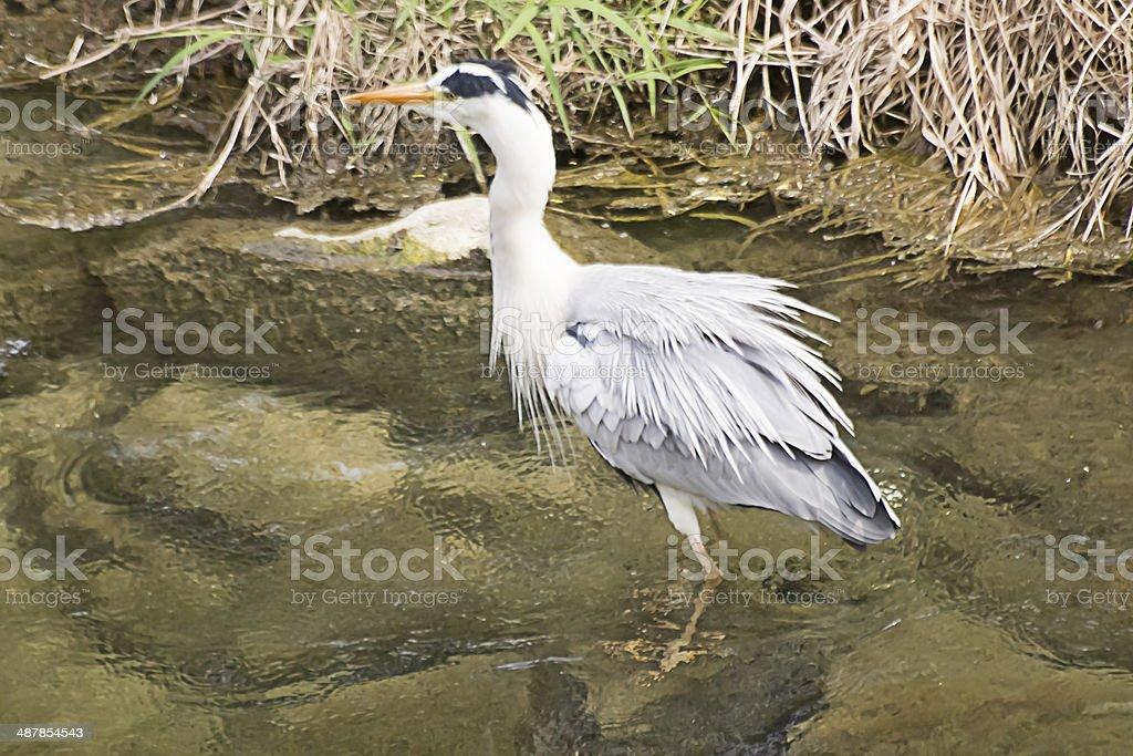 Grey Heron's Trembling stock photo