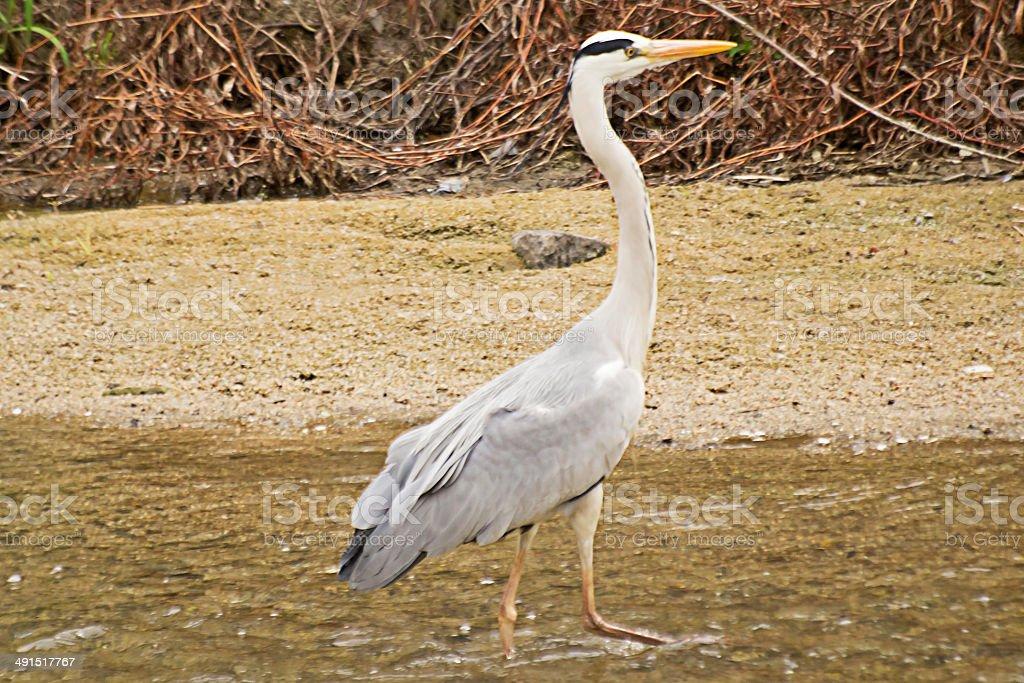 Grey Heron's Walking across the Stream. stock photo