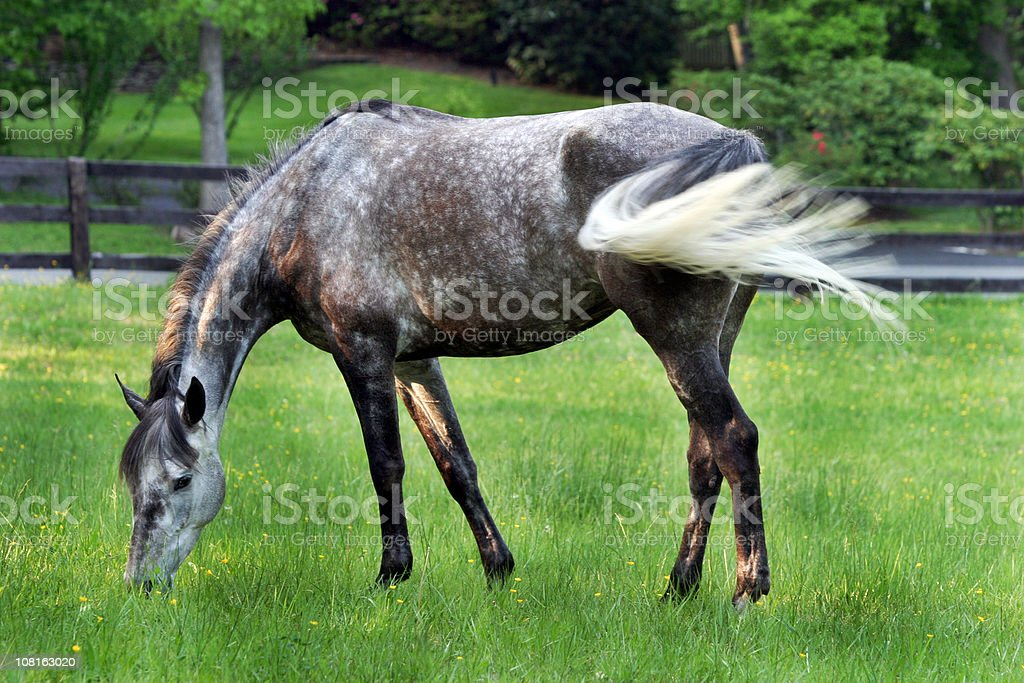 Grey Horse Grazing in Pasture stock photo