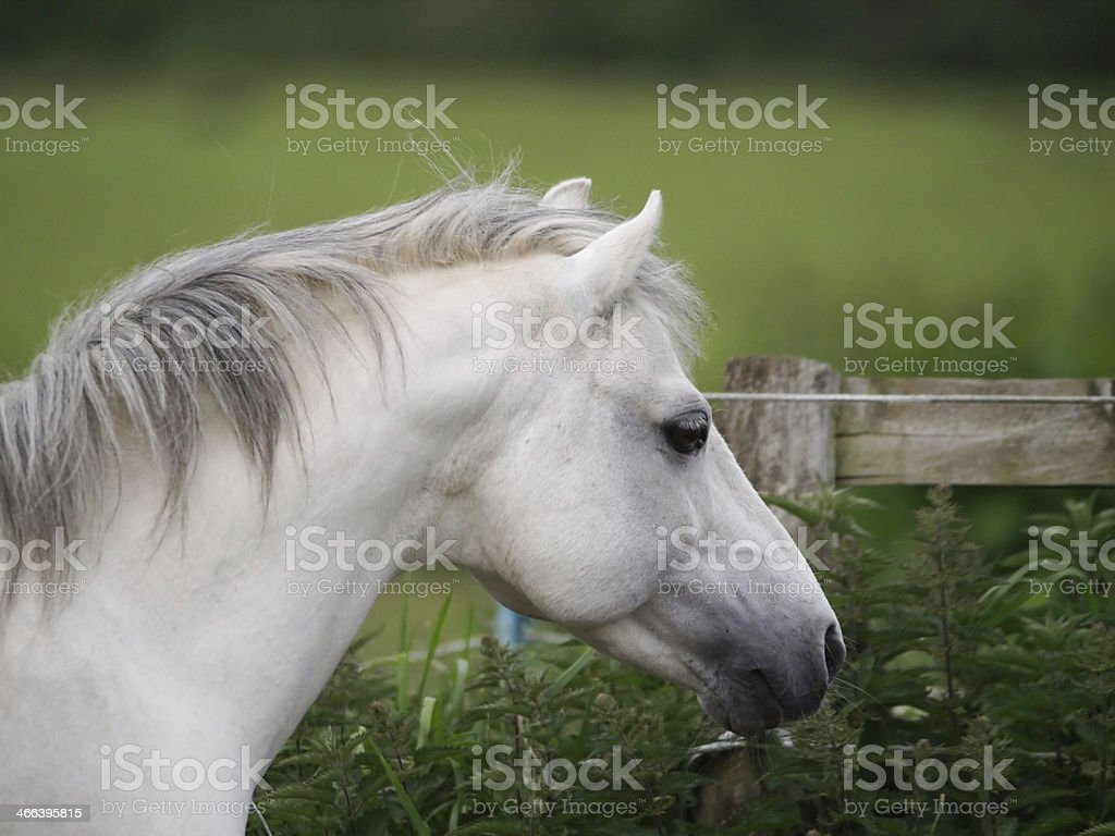 Grey Horse Head Shot stock photo