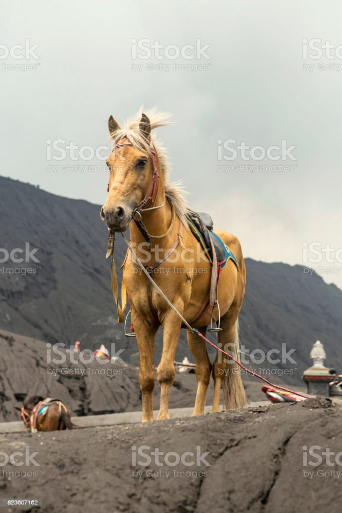 Grey Horse in front of mountains near  Volcano Bromo, Java, Indonesia stock photo