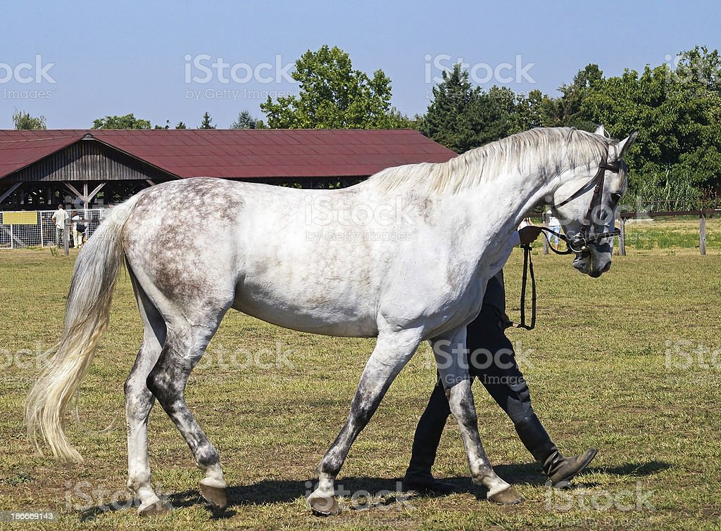 grey horse royalty-free stock photo