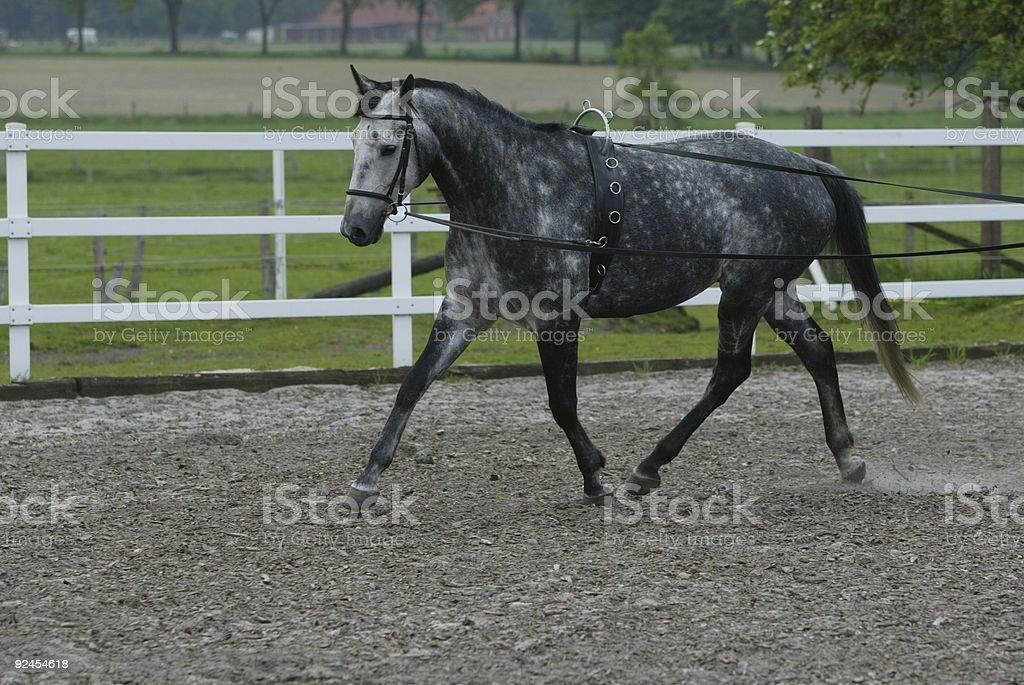 Grey Horse (Hannoveraner) royalty-free stock photo