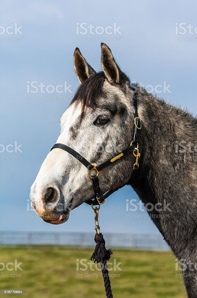 Grey Horse portrait against a blue sky stock photo