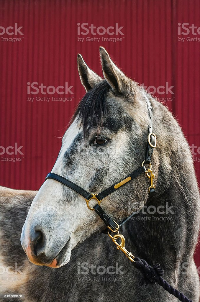 Grey Horse portrait against a red barn stock photo