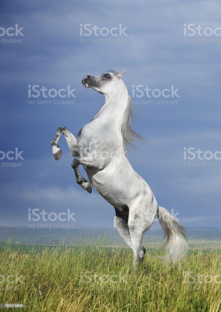 grey horse rearing royalty-free stock photo