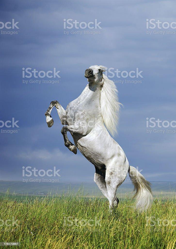 grey horse rearing stock photo