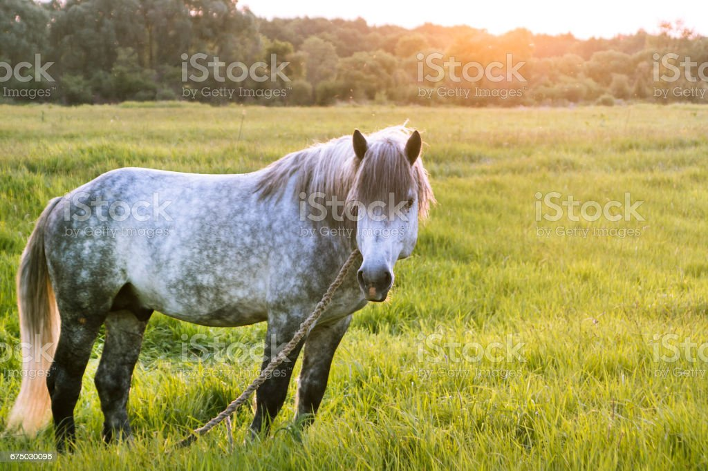 Grey horse stands on the field, looks aside, the sun sets, golden hour, copy-space stock photo