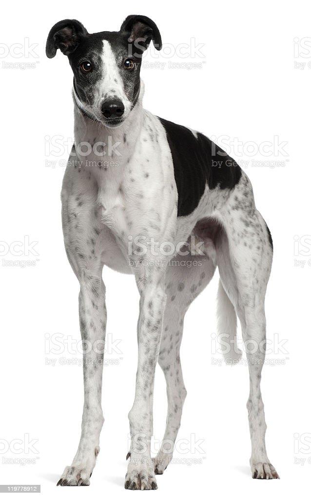 Grey Hound, 4 years old, standing, white background. stock photo