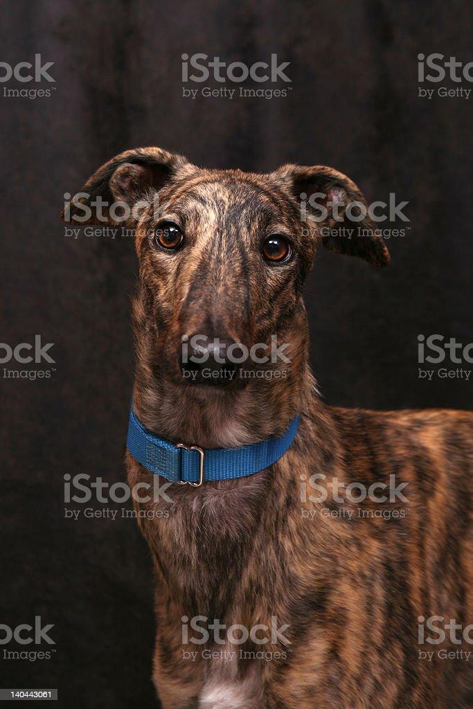 Grey hound royalty-free stock photo
