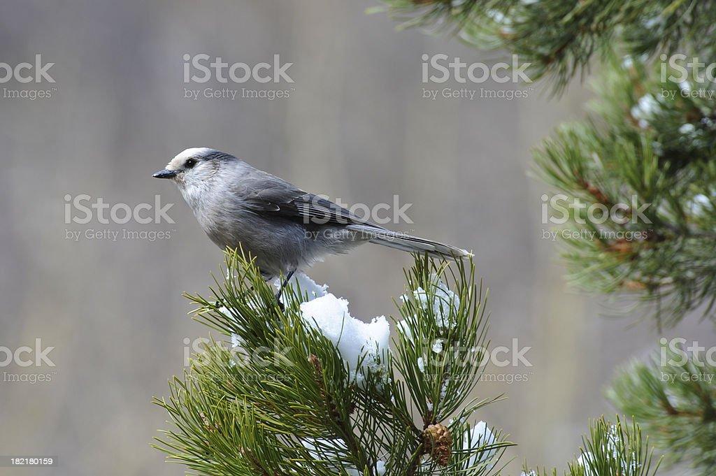 Grey Jay on Snowy Perch stock photo