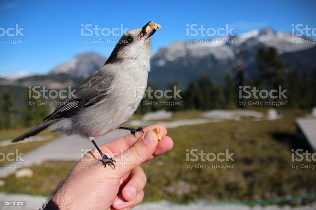 Grey Jay stock photo
