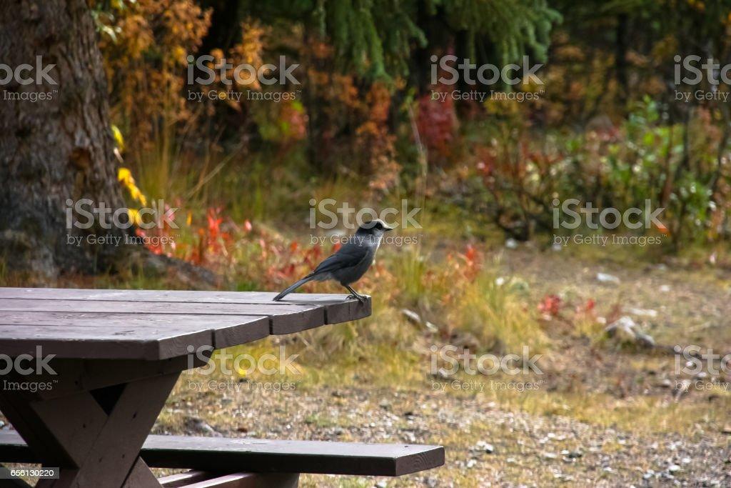 Grey Jay sitting on a picknick table stock photo