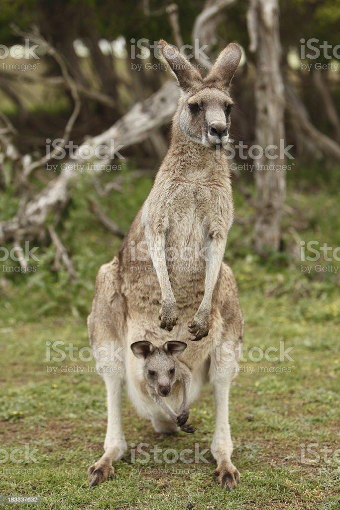 Grey Kangaroo and Joey stock photo