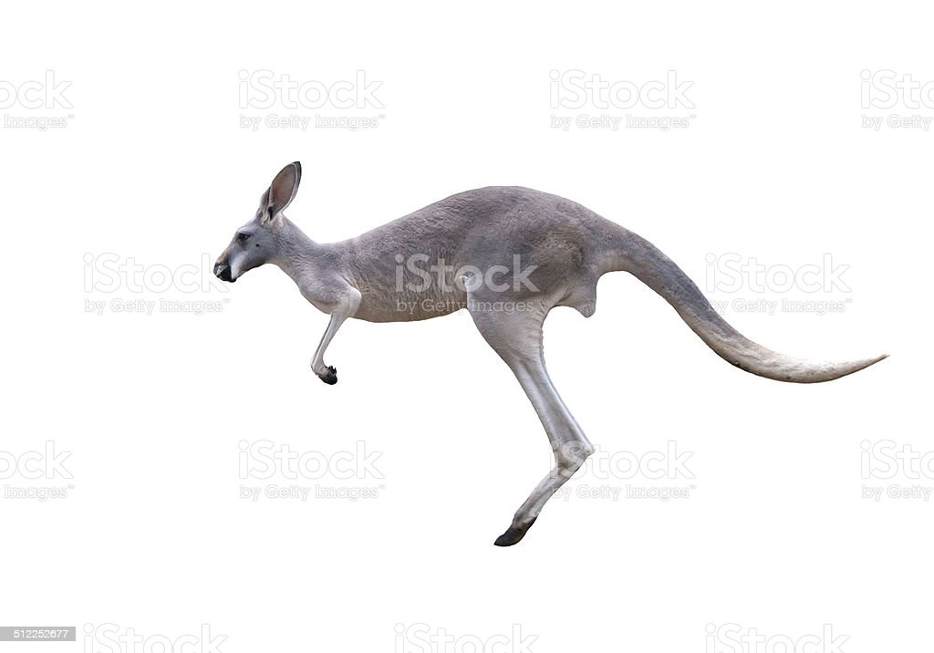 grey kangaroo jumping stock photo