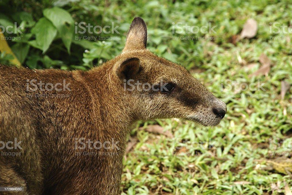 Grey Kangaroo stock photo