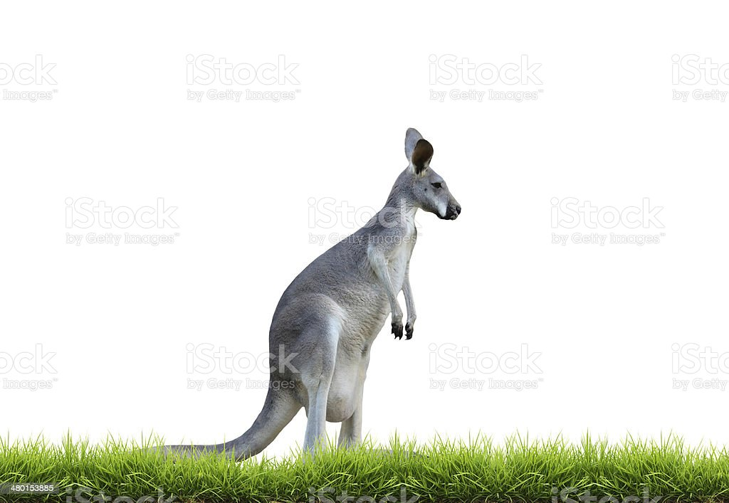 grey kangaroo with green grass isolated royalty-free stock photo