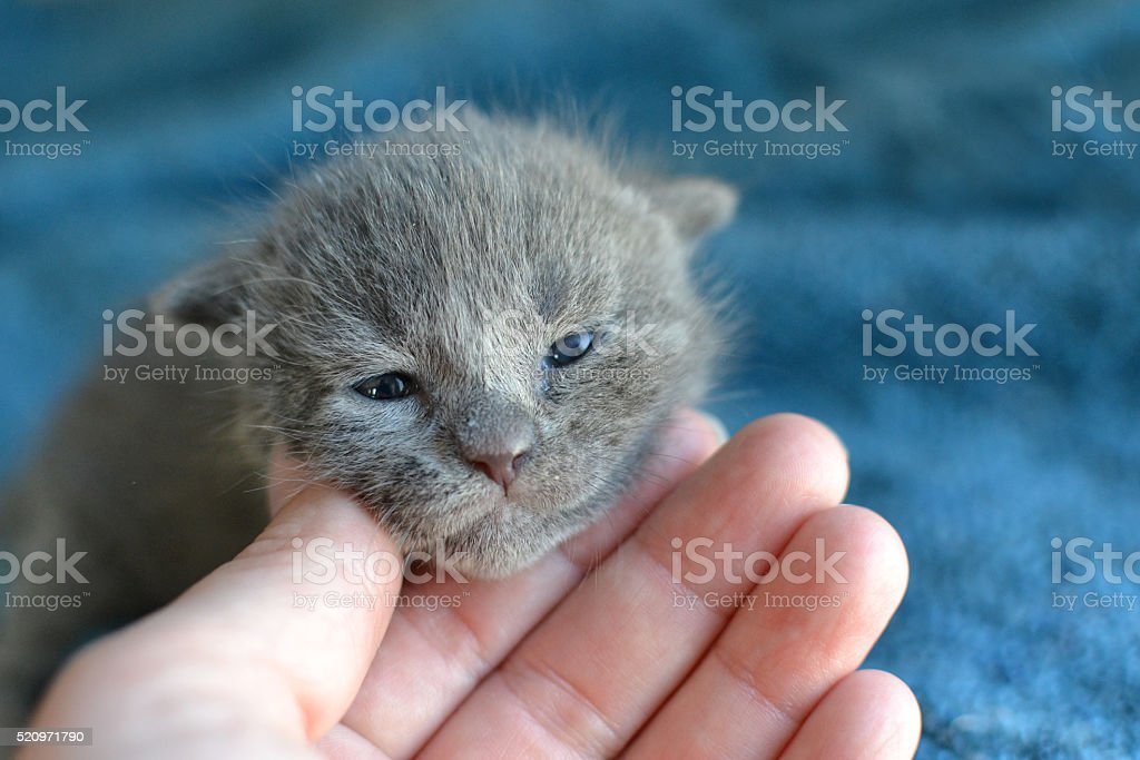 Grey kitten face in hand stock photo