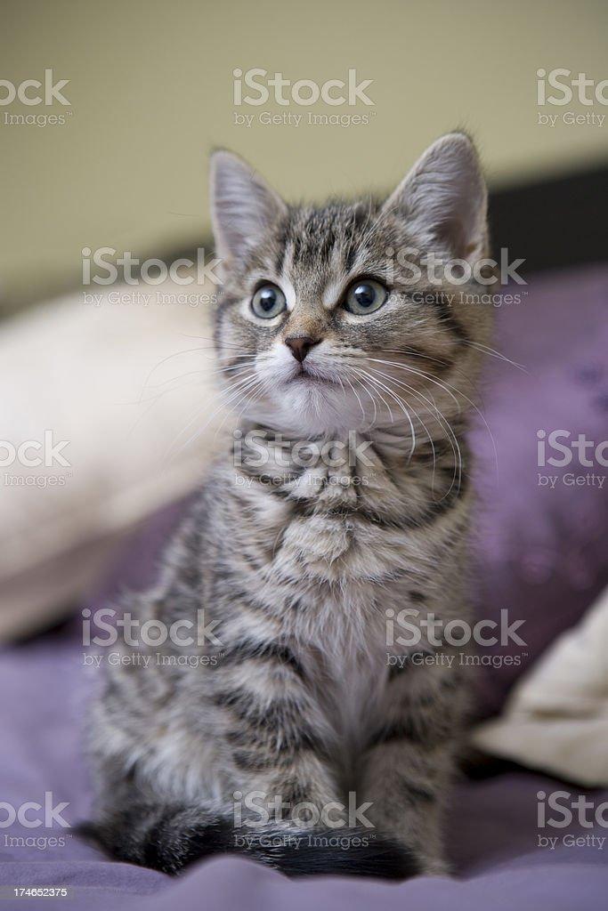 Grey Kitten Looking Innocent royalty-free stock photo