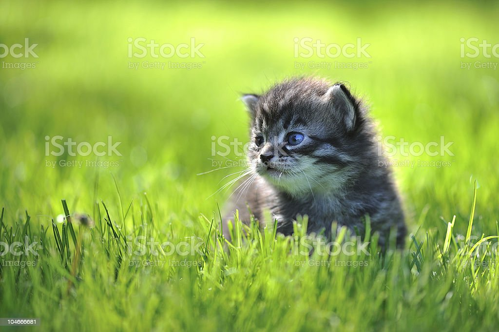 Grey kitten on green grass staring sideways serious royalty-free stock photo