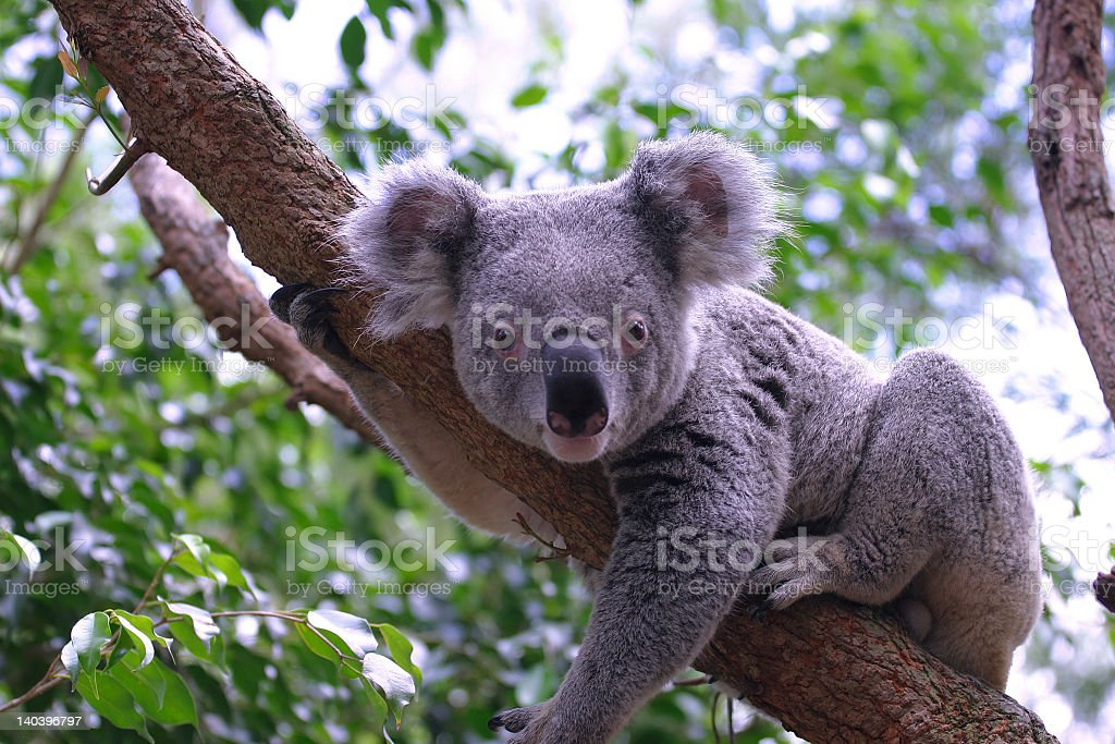A grey koala sitting in a eucalyptus tree stock photo