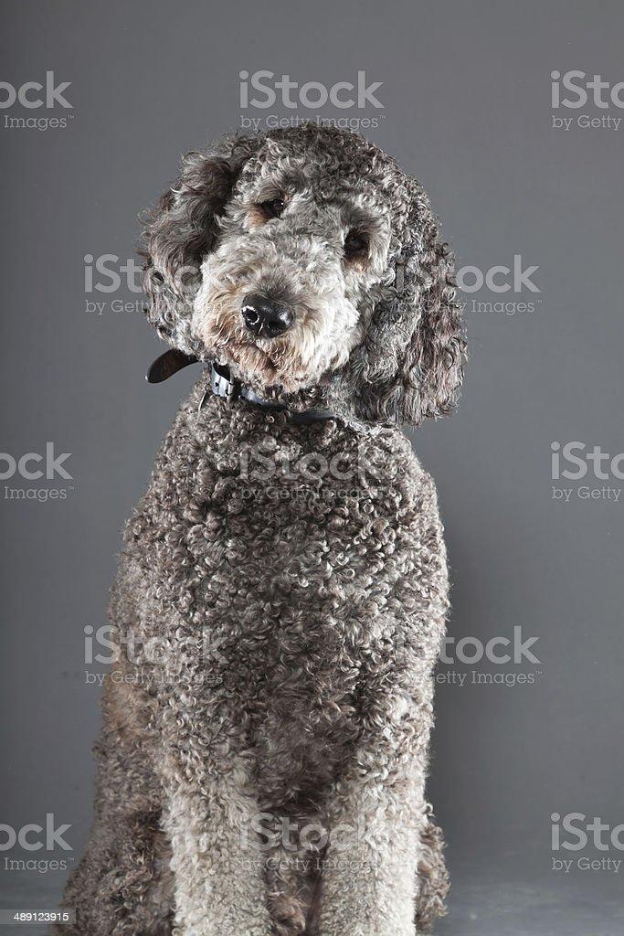 Grey labradoodle against grey background. stock photo