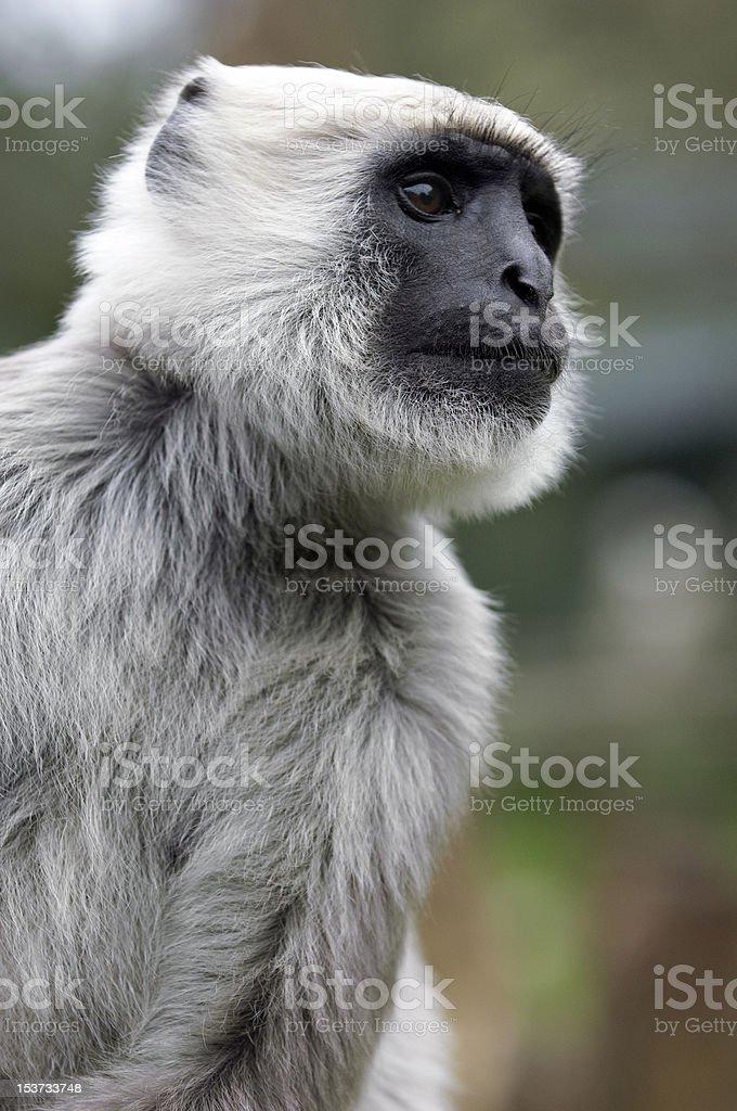 Grey Langur Close-Up royalty-free stock photo