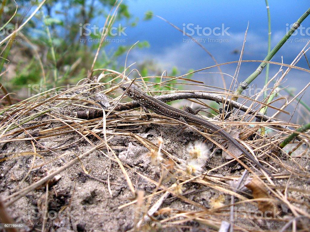 grey lizard near the river stock photo