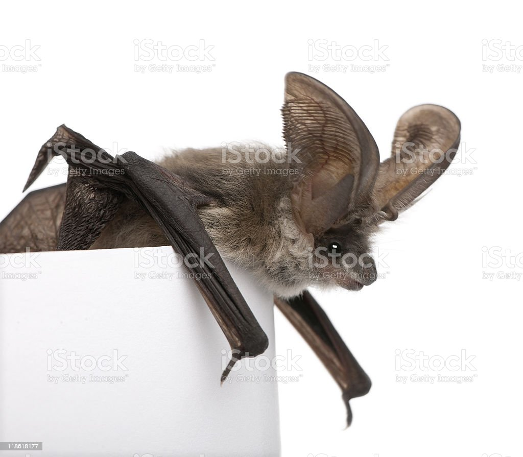 Grey long-eared bat n front of white background royalty-free stock photo