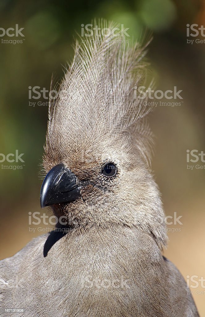 grey lourie, go away bird, Corythaixoides concolor , head face portrait royalty-free stock photo