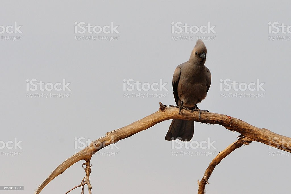 Grey Lourie stock photo