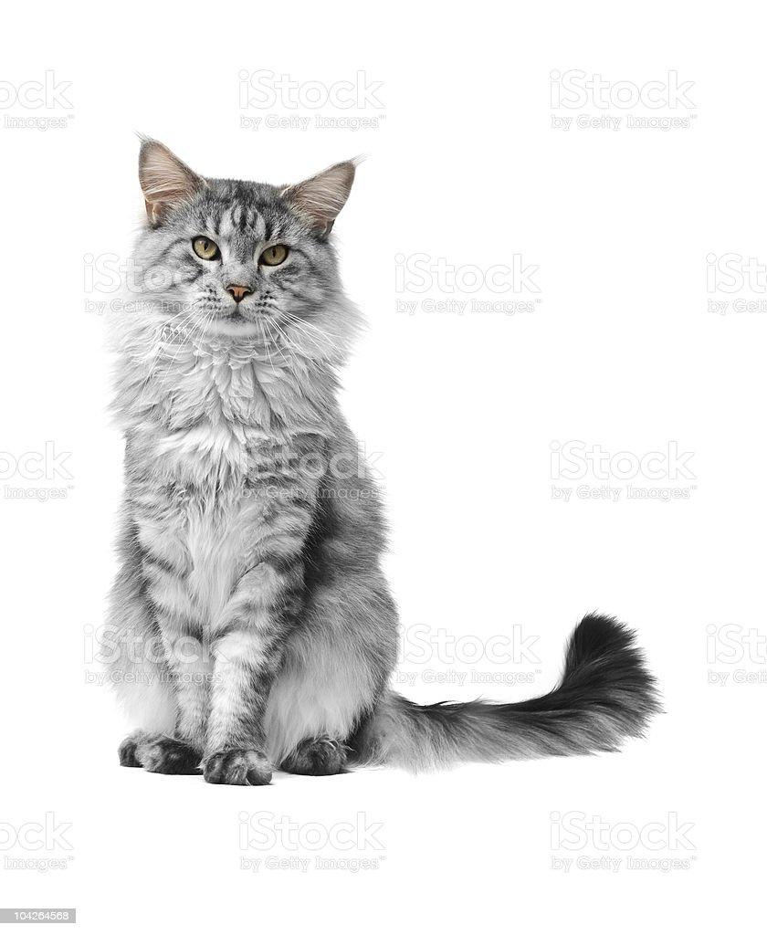 grey maine coon cat stock photo