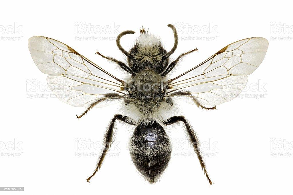 Grey Mining Bee on white Background stock photo