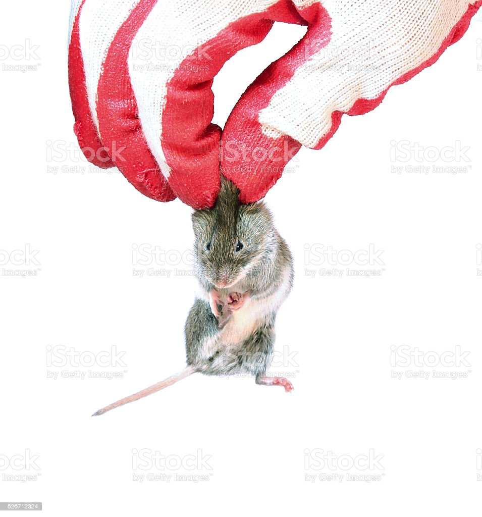 Grey mouse holding by the scruff in hand disinfectant worker stock photo