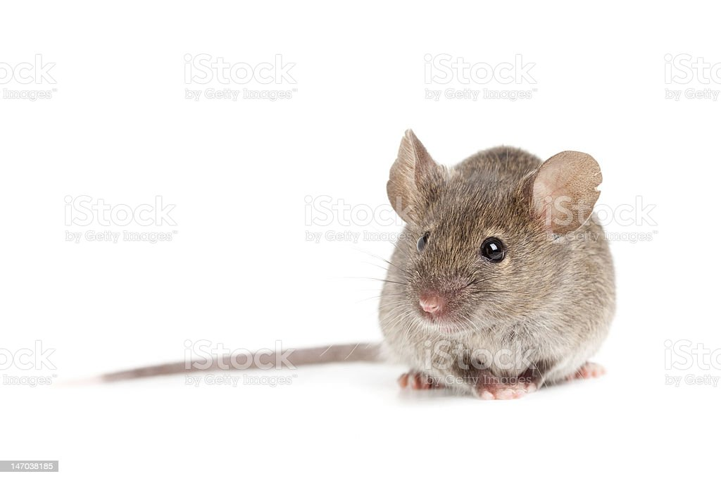 grey mouse isolated on white stock photo