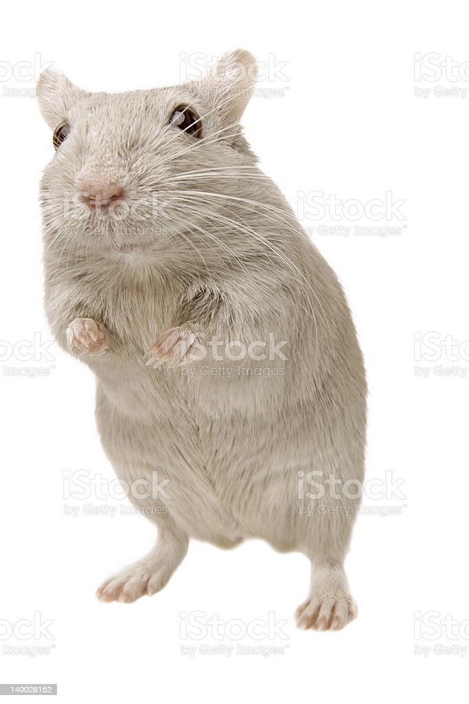grey mouse royalty-free stock photo