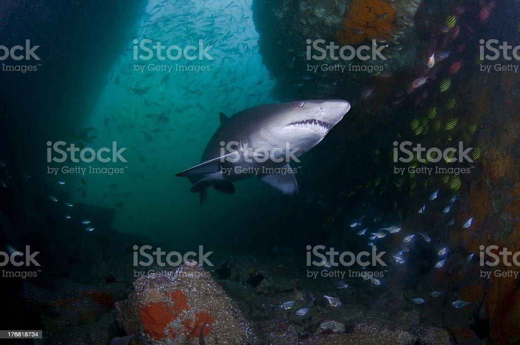 Grey Nurse Shark In Cave stock photo