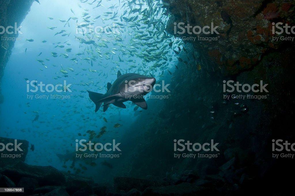 Grey Nurse Shark stock photo