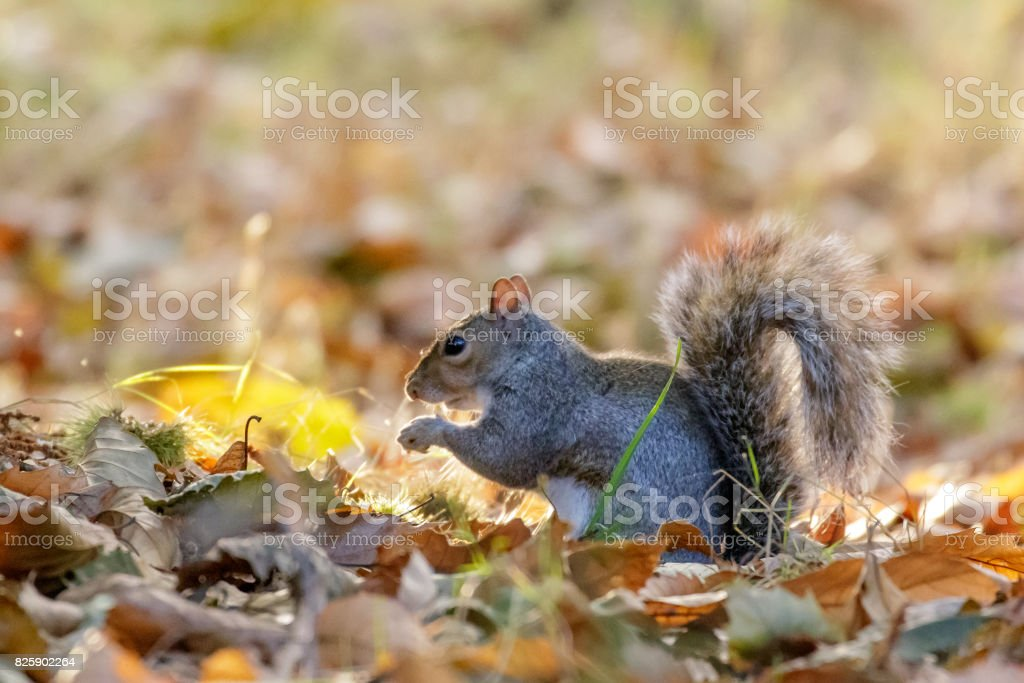 Grey or Gray Squirrel (Sciurus carolinensis) foraging for Sweet Chestnuts, in an autumn wood stock photo
