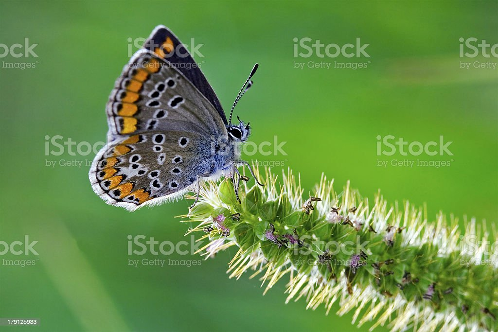 grey orange  butterfly royalty-free stock photo