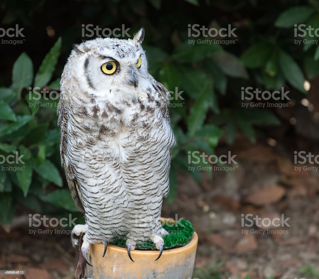 Grey owl perched stock photo
