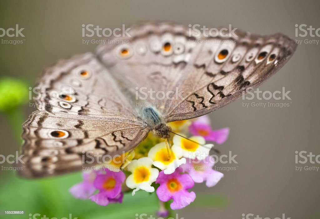 Grey Pansy Butterfly , Precis / Junonia atlites , Graues Stiefmütterchen stock photo