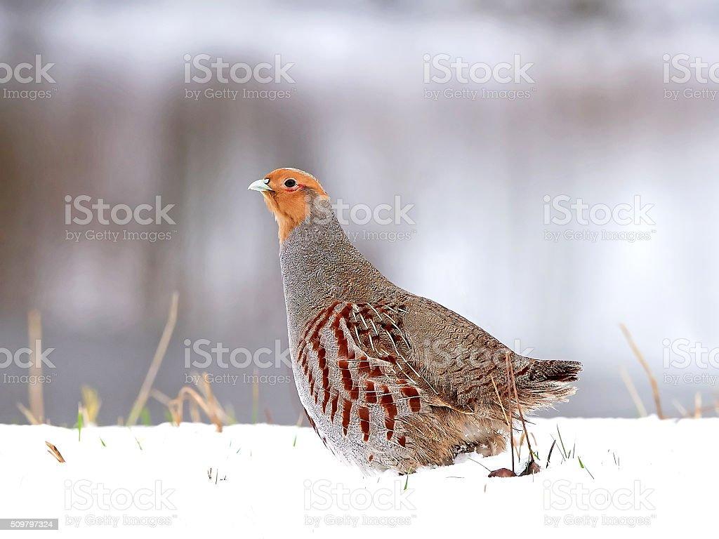 Grey partridge (Perdix perdix) stock photo