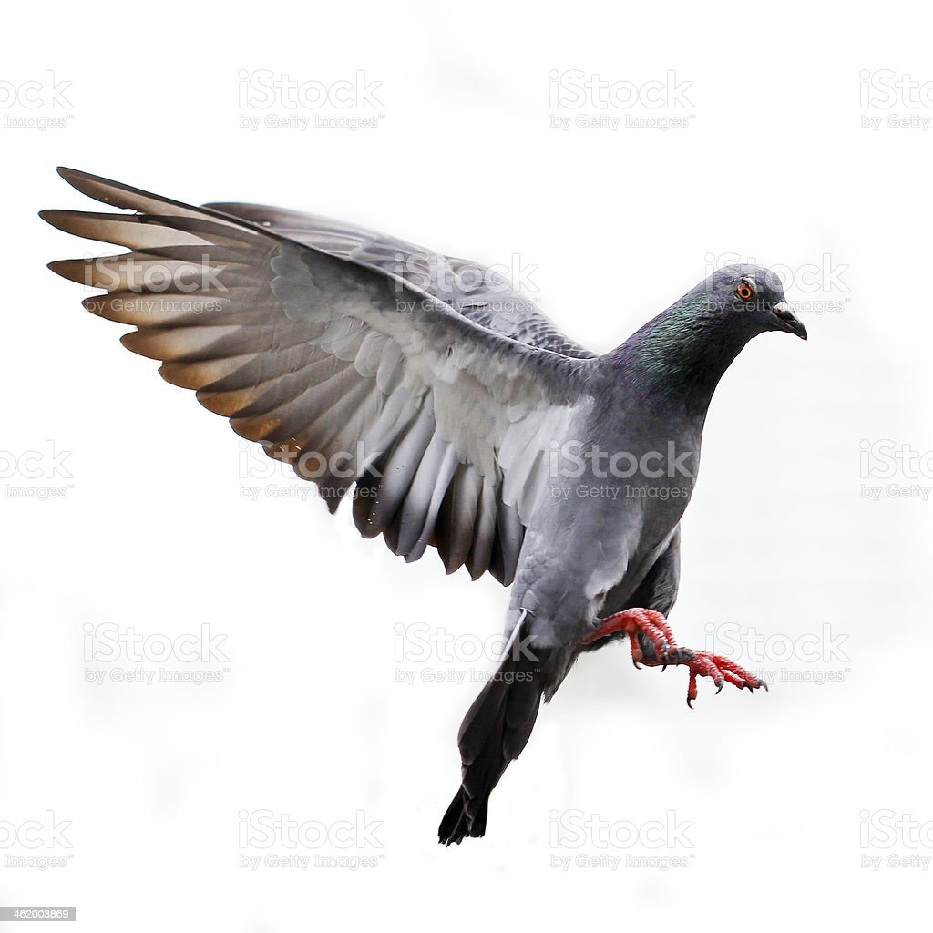 A grey pigeon flying in white background  stock photo