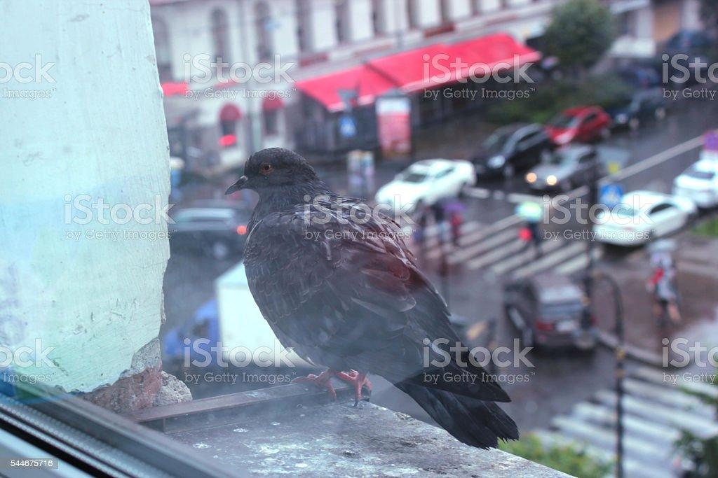 Grey pigeon stock photo