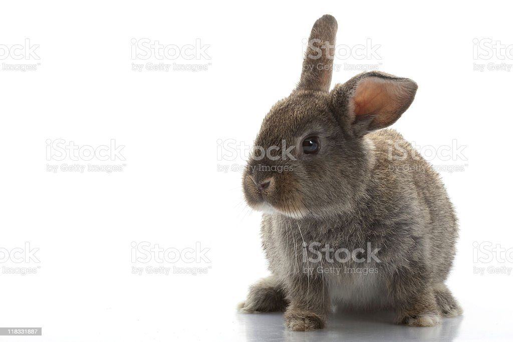 Grey Rabbit royalty-free stock photo