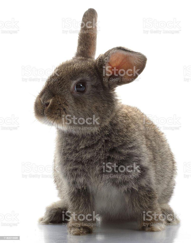 Grey Rabbit stock photo
