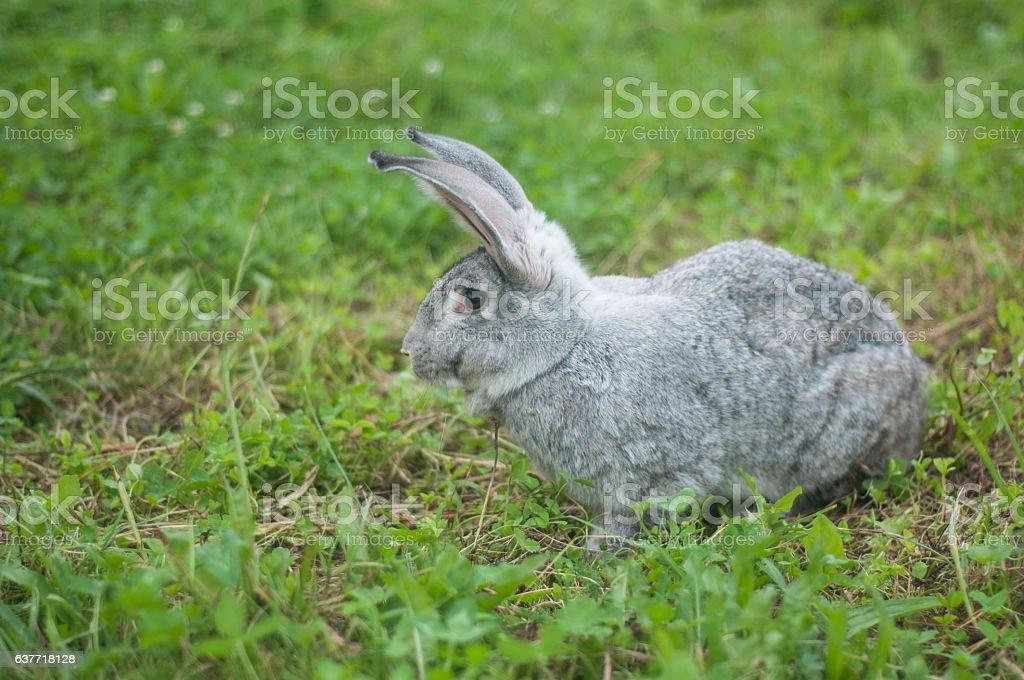 grey rabbit sitting on green grass stock photo