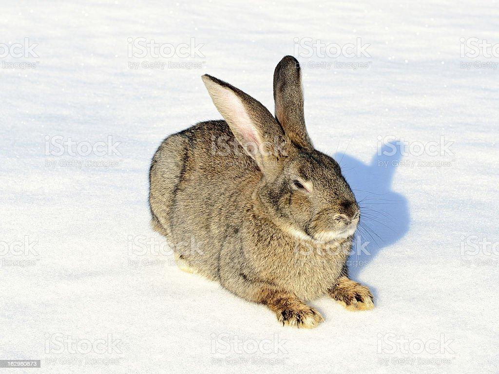 Gris lapin assis sur la neige photo libre de droits