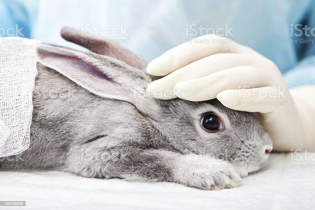 Grey rabbit undergoing treatment at a veterinary laboratory stock photo